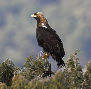 イベリア半島を代表する猛禽ニシカタシロワシ