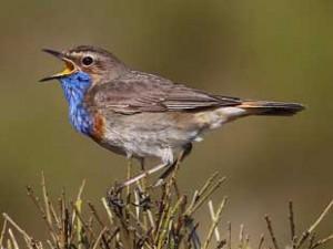 喉全体が青いイベリア半島のオガワコマドリ