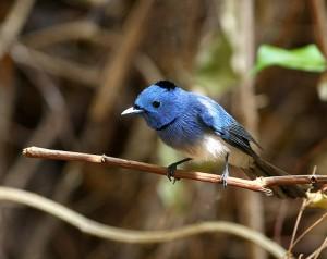 独特の青色が美しいクロエリヒタキ