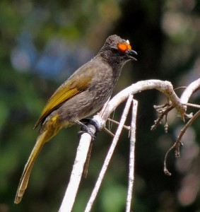 目の前の赤い部分が特徴のアカボシヒヨドリは大スンダ列島の固有種。
