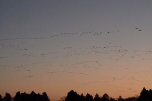 朝日池の夕景とヒシクイ 撮影:佐藤幹夫様