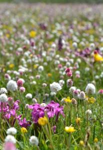 ピンクのシオガマギクや白いイブキトラノオ、黄色のラヌンキュルスなどの花畑