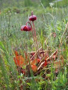 食虫植物のサラセニアの花が開花期を迎えていました