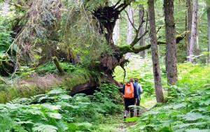 温帯雨林の巨木の森(画像提供=パッククリークベアツアーズ)