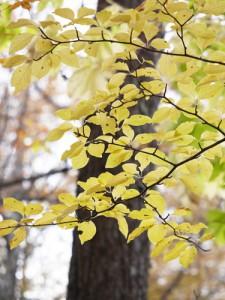 アオハダの黄葉 森の中ではっとするほど明るいレモンイエロー色に輝く