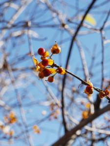 ツルウメモドキ 黄色く熟した実から真っ赤な種子が顔を出す