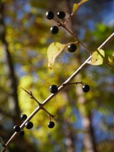 クロウメモドキの黒い実 枝は対生と互生が入り交じるユニークな出方をする