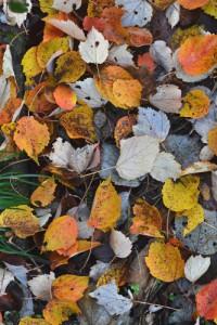 ハナノキの落葉