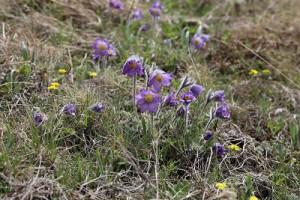 オキナグサの仲間のプルサティラ・アルバナ。花が大きく、産毛が全体を包みます。