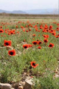 年間を通じて降水量が少なく半乾燥地が多いため、ポピーの花畑に出会います。