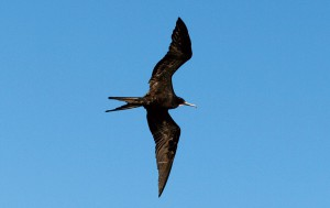 海鳥を間近に観察できるのもガラパゴスクルーズの魅力です