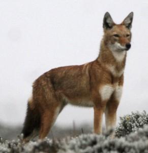 オオカミの仲間のアビシニアジャッカル