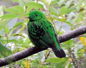 光沢感あふれる緑色が美しいオオミドリヒロハシ