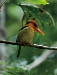 バリラタ国立公園のキバシショウビン