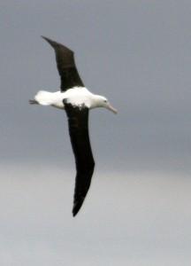 シロアホウドリの飛翔