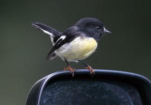 ニュージーランドコマヒタキは気の強い鳥で車のバックミラーに映った自分を攻撃したりもします