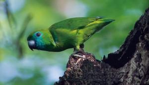 小さなバンジロウインコ バンジロウとはグアバの和名です