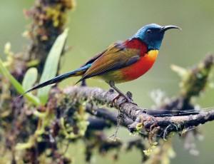 美しいミドリオタイヨウチョウもタイ北部で出会いたい鳥のひとつです