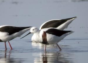 ムネアカセイタカシギは干潟の鳥