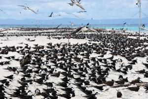 南半球最大の海鳥の繁殖地であるミクルマスケイではアジサシ類の撮影を楽しみます