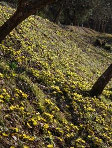 斜面一面に咲くミチノクフクジュソウ