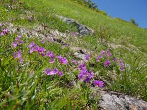 斜面いっぱいに咲くミチノクコザクラ