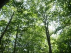 蔦沼周辺で散策したブナの自然林