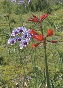 10 月はレウココリネ・プルプレアや赤いヒガンバナ科のフィセラが咲く