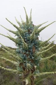 翡翠色の神秘的な花を咲かせるプヤ・ベロテロニアナ