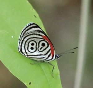羽に88の模様が入る面白い ウラモジタテハ