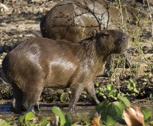 イベラ大湿地で大きな群の観察が期待できるカピバラ