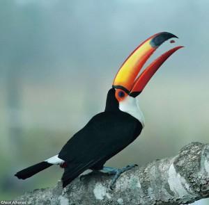 大きな嘴で愛嬌のあるオニオオハシ オニオオハシは愛らしく見えますが、鳥の世界では嫌われものかもしれません。 雑食性で果物のほか昆虫や卵ときには雛まで食べます。ほかの鳥に追い払われる姿を観察することがあります。