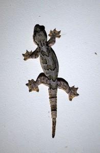 スカウの宿の壁でみつけたヤモリ