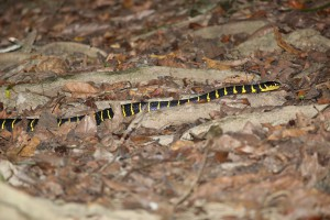 マングローブヘビ