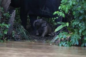 アジアゾウの生後2.5ヶ月位の仔ぞうを連れた群れに遭遇!