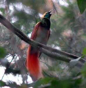 ニューギニアに生息するアカカザリフウチョウ。フウチョウ類のなかでももっとも美しい種類のひとつ。必見です!