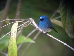 青がこの上なく美しいアイイロヒタキ。キナバル公園ではよく見られます!