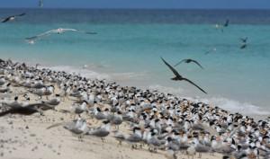 繁殖期のミクルマスケイには3万羽の海鳥が集まります