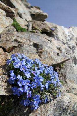 青が美しいエリトリキウム・ナヌム