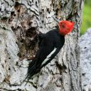 MagellanicWoodpecker