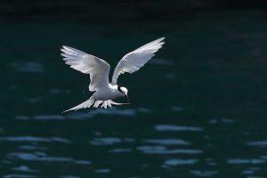 エリグロアジサシ 撮影:米持千里様