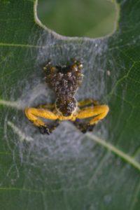 ヘリジロツケオグモ