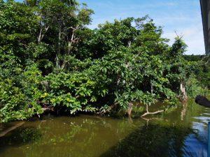 サガリバナの木は、日中探しても周囲の景色に溶け込んでしまい、あまり目立たない。