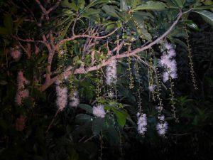 サガリバナの花房がたくさんさがると夜祭のようなにぎやかさになる