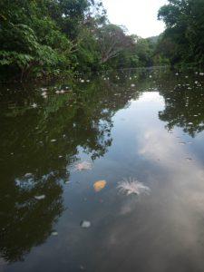 川の上流から朝散ったサガリバナの花がゆっくりと流れてくる