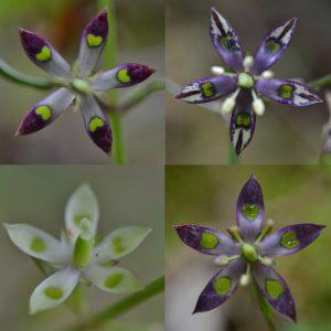 模様の変化が面白いヘツカリンドウ 九州南部から南西諸島に分布