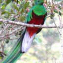 1035_Quetzal resplendissant male