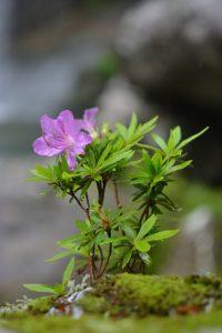 川岸に生育するキシツツジ (香川県にて)