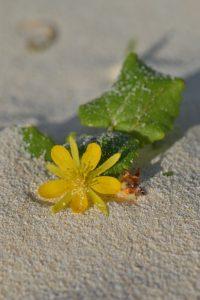 暑い初夏の砂浜にたくまし生きるハテルマカズラ 花が開く時間が決まっているため、この花を見るために朝・昼・夕の3回