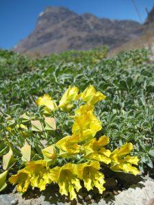 斜面を彩るトロパエオルム 日本でもよく植えられているキンレンカの仲間